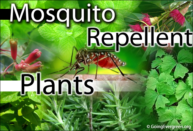 Top 10 Plants That Act As Natural Mosquito Repellent Going Evergreen