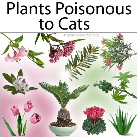 Poisonous Plants For Cats Pictures Indoor
