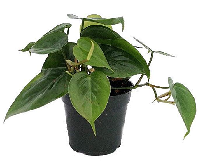 Heartleaf Philodendron Kitchen Plants