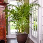 Areca Palm Indoor