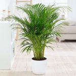 Bamboo Palm Indoor