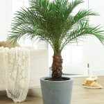 Canary Island Date Palm Indoor