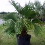 Indoor Chinese Fan Palm Tree