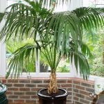 Kentia Palm Indoor
