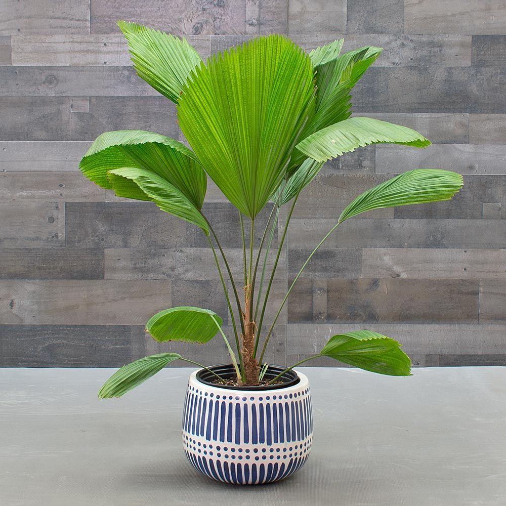Ruffled Fan Palm Indoor