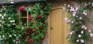Rose Plants to Put Next To Front Door