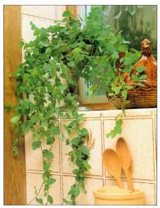 Creeping Fig Indoor Plants with Long Vines
