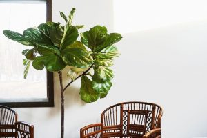 Fiddle Leaf Fig Best Plants for East Facing Window