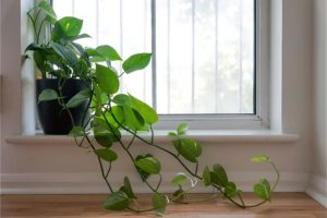Heartleaf Philodendron House Plants For East Facing Window