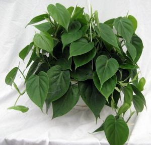 Heartleaf Philodendron Indoor Hanging Plant Vine Heart Shaped Leaves