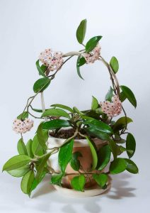 Hoya Indoor Flowering Vine Plants