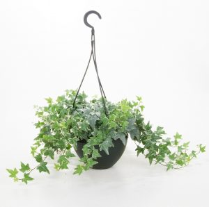 Indoor Climbing English Ivy Plants