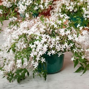 Indoor Climbing White Jasmine Plants with Flowers