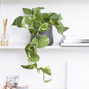 Indoor Vine Plants Pothos