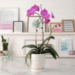 Moth Orchid East Window Plants