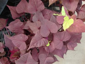 Purple Sweet Potato Vine Indoor Plant