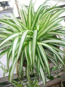 Spider Plant Indoor Climbing Vine Plants