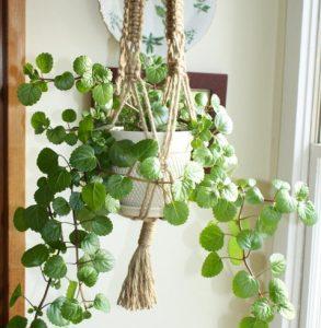 Swedish Ivy Indoor Vining Plants