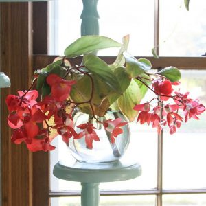 Begonia Indoor Water Flower Plants