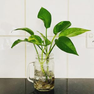 Indoor Money Plant in Water