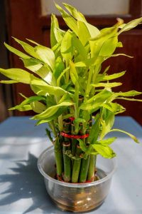 Lucky Bamboo Plant Indoor In Water