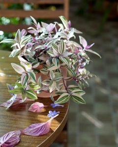 Wandering Jew Water Based Indoor Plants