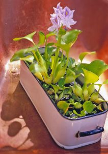 Water Hyacinth Indoor Plants That Live In Water